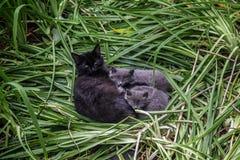 Famille du ` s de chat Beau chat noir pelucheux mignon avec deux chatons gris sur l'herbe verte Photo stock