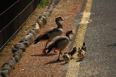 Famille heureuse d'oies Photographie stock libre de droits