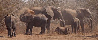 Famille heureuse espiègle d'éléphant Images stock
