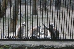 Famille mignonne de lémur dans le zoo Images libres de droits