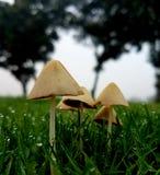 Famille minuscule des champignons dans l'herbe de rosée photo stock