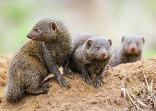 Famille naine de mangouste photos stock