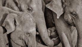 Famille sauvage d'éléphant avec le bébé Photographie stock