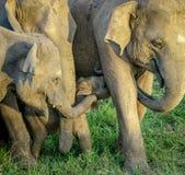 Famille sauvage d'éléphants Image stock