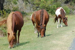 Famille sauvage de poney d'Assateague Photo libre de droits