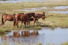 Famille sauvage de poney d'Assateague Image libre de droits