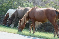 Famille sauvage de poney d'Assateague Image stock