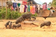 Famille sauvage de porc dans le village d'abandon Photos libres de droits