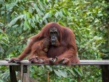 Famille sauvage des bois indonésiens Images stock