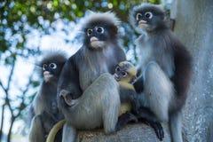 Famille sombre de Langur photos stock