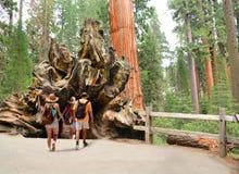 Famille sur augmenter les arbres les explorant de séquoia de voyage Photographie stock libre de droits