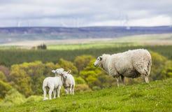 Famille sur le pré - moutons écossais Image stock