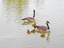 Famille toute neuve d'oie Image libre de droits