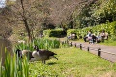 Familles anonymes appréciant le jour de congé ensoleillé observer les oies sauvages en parc Images libres de droits
