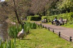 Familles anonymes appréciant le jour de congé ensoleillé observer les oies sauvages en parc Image libre de droits