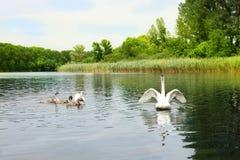familly天鹅在水宽翼的自然生态环境 库存图片