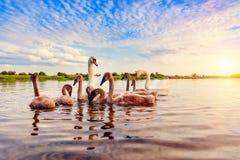 Familly av svanar arkivfoton