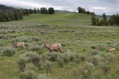 Familly del funcionamiento de las ovejas de Bighorn a través del campo imagen de archivo