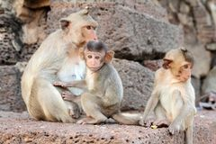 Familly of monkeys Stock Photo