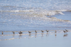 Familly of Sanderling birds walking on beach. Galagapos Stock Images