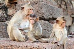 Familly van apen Stock Foto