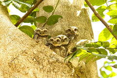 Family. Of the spotted owl at thailand Royalty Free Stock Photo