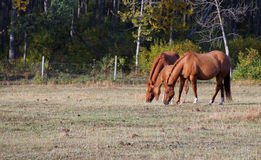 Family. Mare, Gelding, and Foal share moment together Royalty Free Stock Photography