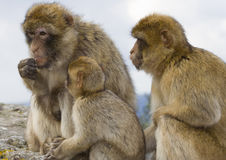Family. Monkeys family looking for foods royalty free stock photos