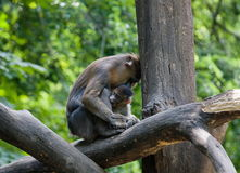Family. A monkey mother and her child, close together Royalty Free Stock Photo