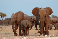Family. This is a image taken in Namibia south Africa of a family of elephants in natural habitat Stock Images