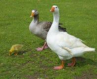Family. Goose family. Farm life scene Royalty Free Stock Image