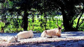 Family of addax antelope Stock Images