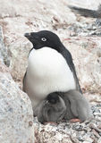 Family Adelie penguins. Royalty Free Stock Images