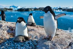 Group of Adelie penguins in Antarctica. Family of Adelie penguins nesting with flocks in Antarctica, 2018 royalty free stock photos