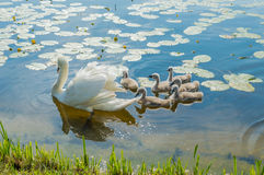 Family of adult and little mute swans (Cygnus olor) on the lake Stock Image