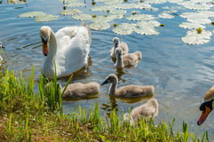 Family of adult and little mute swans (Cygnus olor) on the lake Royalty Free Stock Photo