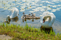 Family of adult and little mute swans (Cygnus olor) on the lake Royalty Free Stock Images