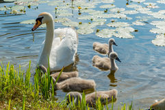 Family of adult and little mute swans (Cygnus olor) on the lake Stock Photo