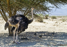 Family of Afracan ostrich in Israeli savanna Stock Images