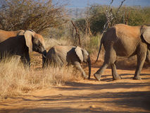 Family of African bush elephant Stock Images