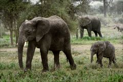 The family of the African Bush Elephants. Royalty Free Stock Photos