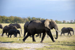 Family of african elephant Stock Photos