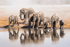 Family of African elephants drinking. At a waterhole in Etosha national park. Namibia, Africa Royalty Free Stock Photos