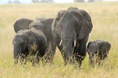 Family of african elephants Stock Photos
