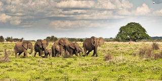 Family of elephants Stock Images