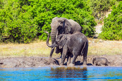 Family of African elephants at the watering Stock Photos