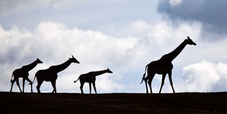 Family of African Giraffes Walking Stock Images