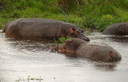 Family of african hippos Stock Photos
