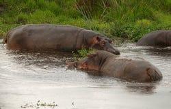 Family of african hippos stock photos