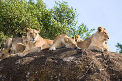 Family of African Lions in Tanzania Stock Photo